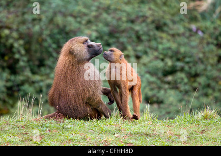 Guinea baboon and young, Cabarceno, Spain - Stockfoto