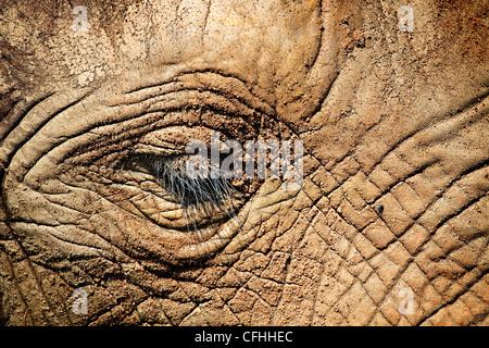 African elephant close up of face, Cabarceno, Spain - Stock Photo
