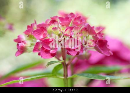 Hydrangea macrophylla 'Vorster Fruhro'. - Stock Photo