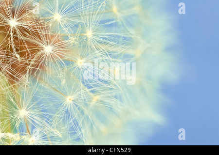 Extreme macro dandelion - Stock Photo
