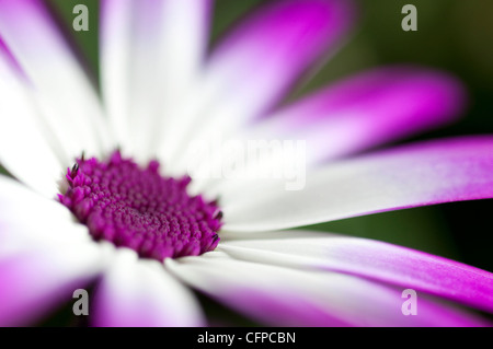 senetti flower - Stock Photo