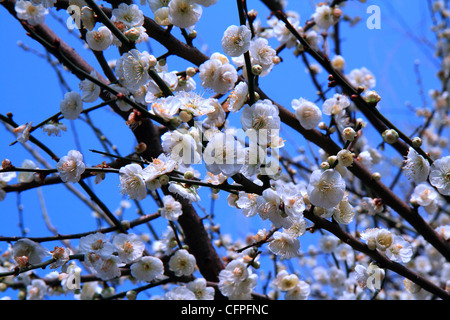 White plum blossoms flowering in the spring. - Stock Photo