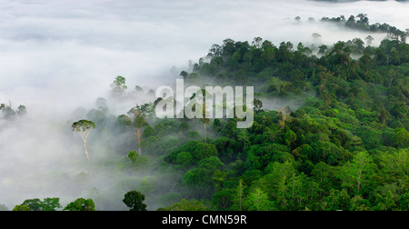 Mist and low cloud hanging over lowland Dipterocarp rainforest with emergent Menggaris Tree visible. Danum Valley, - Stock Photo