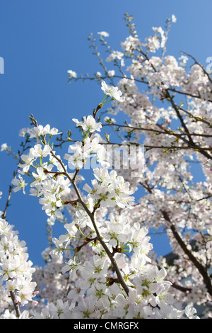 Beautiful blooming tree with clear blue sky in the spring time - Stock Photo