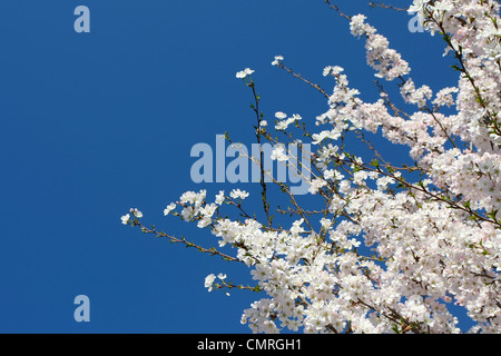 Beautiful blooming tree with clear blue sky - Stock Photo
