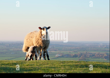 Lambs suckling from a ewe on a hillside in the english countryside - Stock Photo
