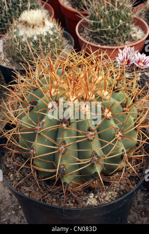 Cacti grown from seed at a cactus exhibition in mexico for Feroxcactus chile