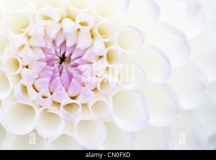 Dahlia 'Josie Gott', Close up of purple and white petals opening on a flower. - Stock Photo