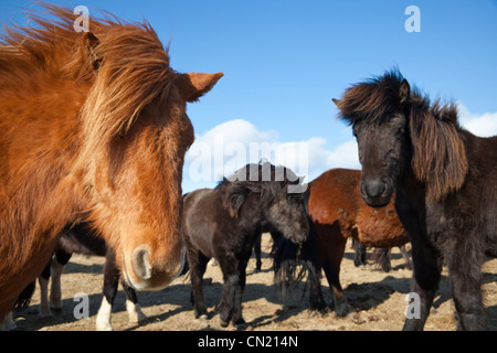 Icelandic horses, Iceland - Stock Photo