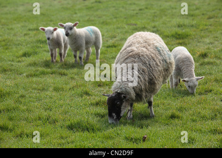 A ewe and her lambs in a field in Nidderdale, Yorkshire - Stock Photo