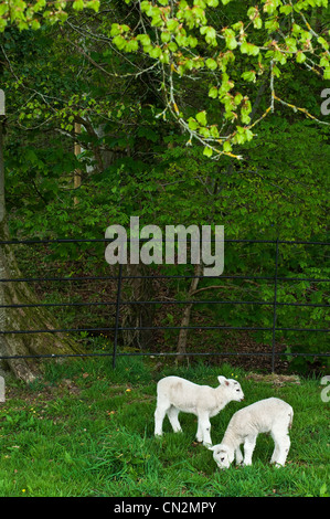 Two lambs in field - Stock Photo