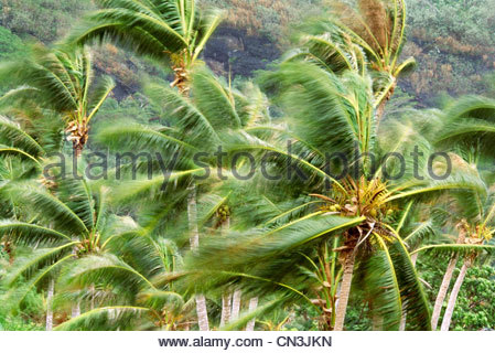 Palm trees in gale force wind, Bora Bora - Stock Photo