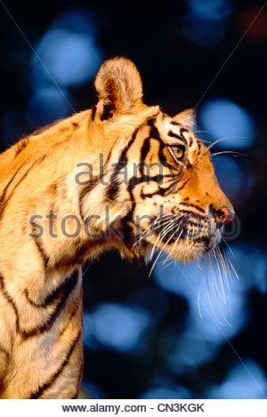 Bengal Tiger, Ranthambhore National Park, India - Stock Photo