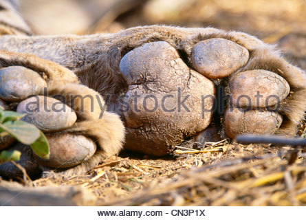 Paw pads of a tiger, Ranthambhore National Park, India - Stock Photo