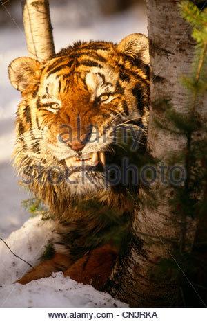 Bengal tiger, India - Stock Photo