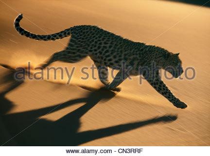 Leopard, Namib-Naukluft National Park, Namibia - Stock Photo