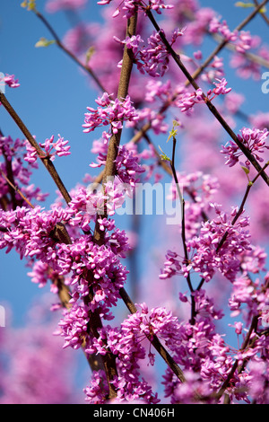 Springtime blossoms on a Redbud Tree in Nashville, Tennessee USA - Stock Photo