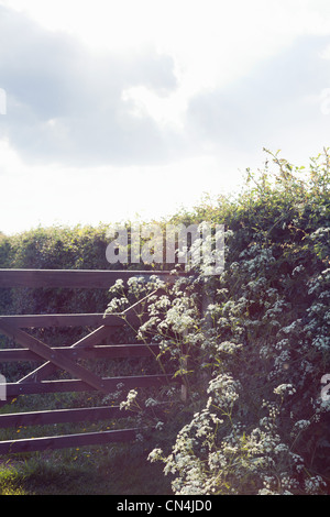 Cow parsley on rural gate - Stock Photo
