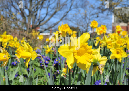 Daffodils in full bloom on a sunny spring day - Stock Photo