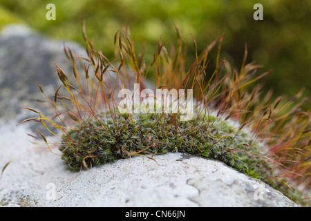 Wall Screw-moss (Tortula muralis) growing on a dry-stone wall in the Peak District - Stockfoto