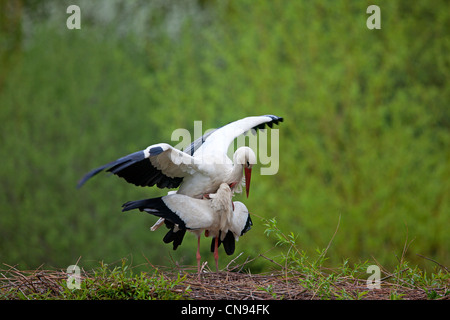 France, Haut Rhin, Hunawihr, couple of storks in their nest at the centre for reintroduction of storks in Alsace - Stock Photo