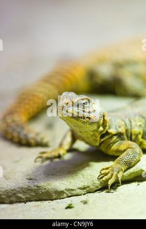 Sahara Dabb Lizard - Uromastyx geyri - Stock Photo