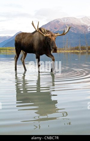 CAPTIVE: Bull moose walks thru high-tide water, Alaska Wildlife Conservation Center, Southcentral Alaska, Autumn - Stock Photo