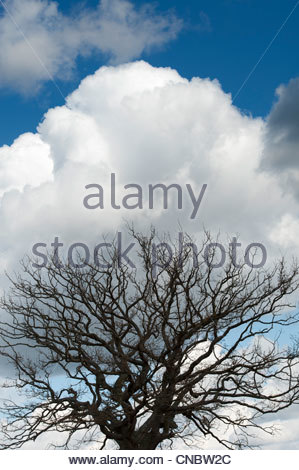 Oak tree silhouette in winter abstract - Stock Photo