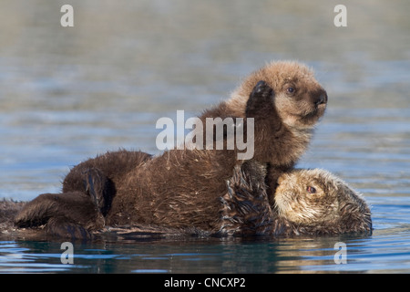 Female Sea otter with newborn pup riding on her stomach, Prince William Sound, Southcentral Alaska, Winter - Stock Photo