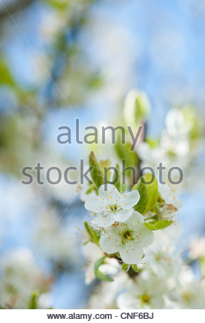 Prunus domestica 'Rivers Early Prolific' . Plum Tree blossom - Stock Photo