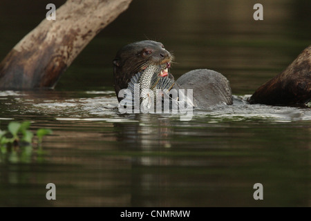 Giant Otter (Pteronura brasiliensis) adult, feeding on catfish in water, Porto Jofre, Mato Grosso, Brazil, september - Stock Photo