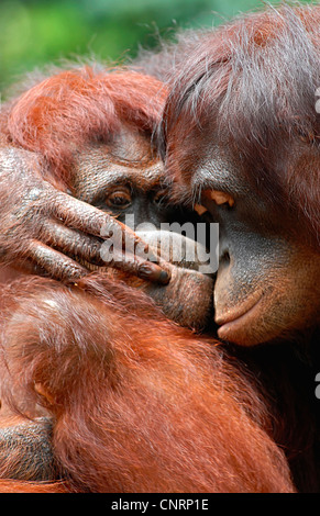 orang-utan, orangutan, orang-outang (Pongo pygmaeus), hugging - Stock Photo