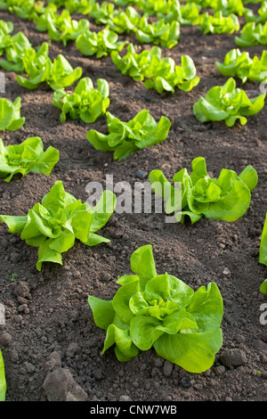 garden lettuce lactuca sativa salad plants in a foil covered stock photo royalty free image. Black Bedroom Furniture Sets. Home Design Ideas
