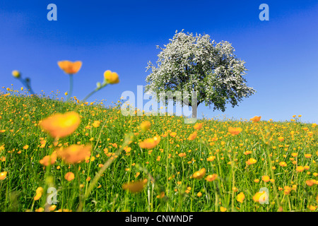 Buttercup from below stock photo royalty free image for Domestica in svizzera