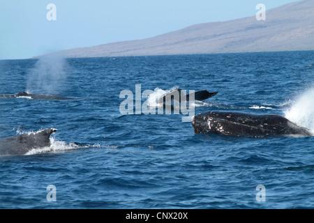humpback whale (Megaptera novaeangliae), emerging and submerging individuals, USA, Hawaii, Maui - Stock Photo