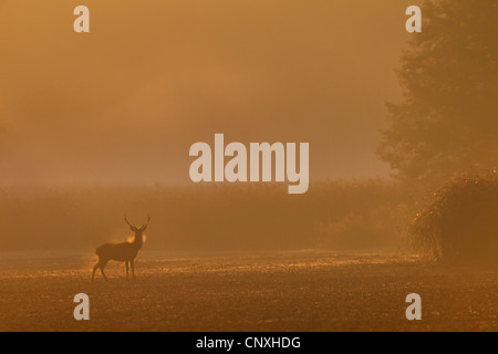 red deer (Cervus elaphus), stag on a field in morning mist, Germany, Saxony, Oberlausitz - Stock Photo