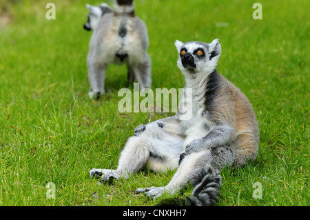 ring-tailed lemur (Lemur catta), sitting on lawn and let the sun shine on the belly - Stockfoto