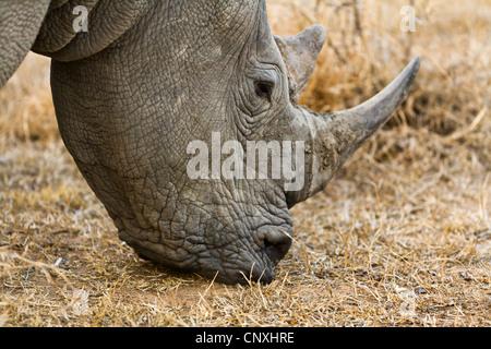 white rhinoceros, square-lipped rhinoceros, grass rhinoceros (Ceratotherium simum), grazing, South Africa, Krueger - Stock Photo