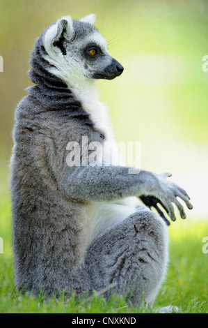 ring-tailed lemur (Lemur catta), sitting and sunbathing in lawn - Stockfoto