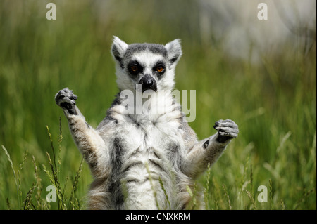 ring-tailed lemur (Lemur catta), sitting in meadow and sunbathing - Stockfoto
