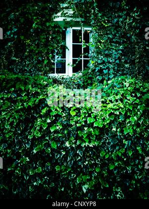 Window overgrown ivy - Stock Photo