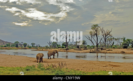 African elephant (Loxodonta africana), two animals visiting the Ewaso Ngiro, the largest river of the country, in - Stock Photo