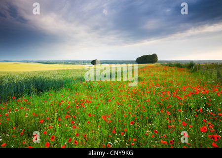Wild Poppies growing in a field in Wiltshire, England. Summer (July) 2009 - Stock Photo