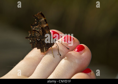 comma (Polygonia c-album, Comma c-album, Nymphalis c-album), sitting on a foot with the nails painted red sucking - Stockfoto