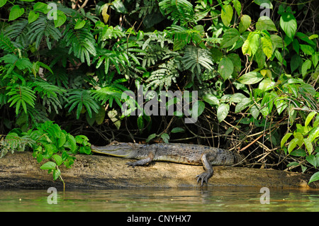spectacled caiman (Caiman crocodilus), lying on a waterfront, Honduras, La Mosquitia, Las Marias - Stock Photo