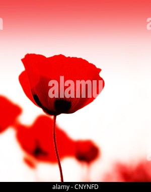 Red poppy flowers meadow with selective soft focus - Stock Photo
