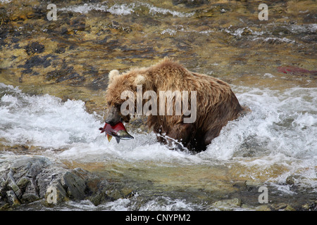 brown bear, grizzly bear, grizzly (Ursus arctos horribilis), juvenile standing in the rapids of a river with a caught - Stock Photo