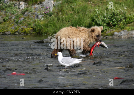 brown bear, grizzly bear, grizzly (Ursus arctos horribilis), walking in a river with a caught salmon in the mouth - Stock Photo