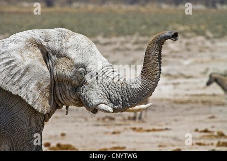 African elephant (Loxodonta africana), lifting up the trunk sniffing, Namibia, Etosha National Park - Stock Photo