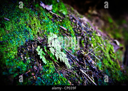 Lichen growing on a concrete bridge parapet at Lymm Dam, Lymm, Cheshire, England, UK with a small fern - Stockfoto
